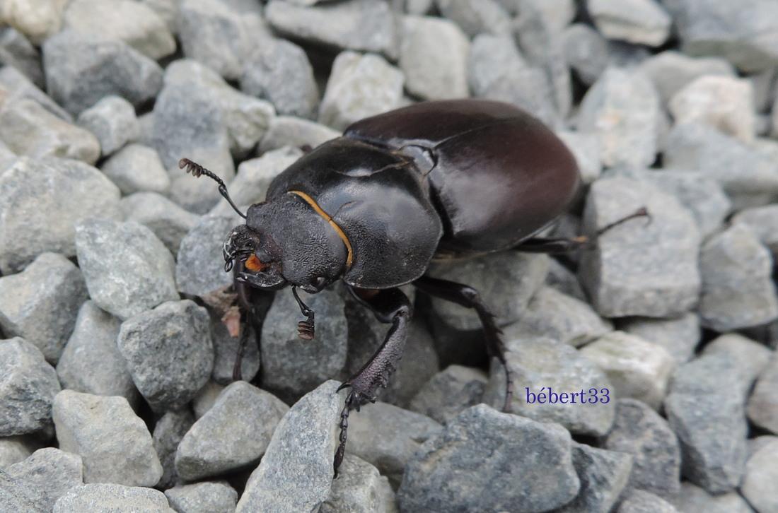 un scarabée de cet été