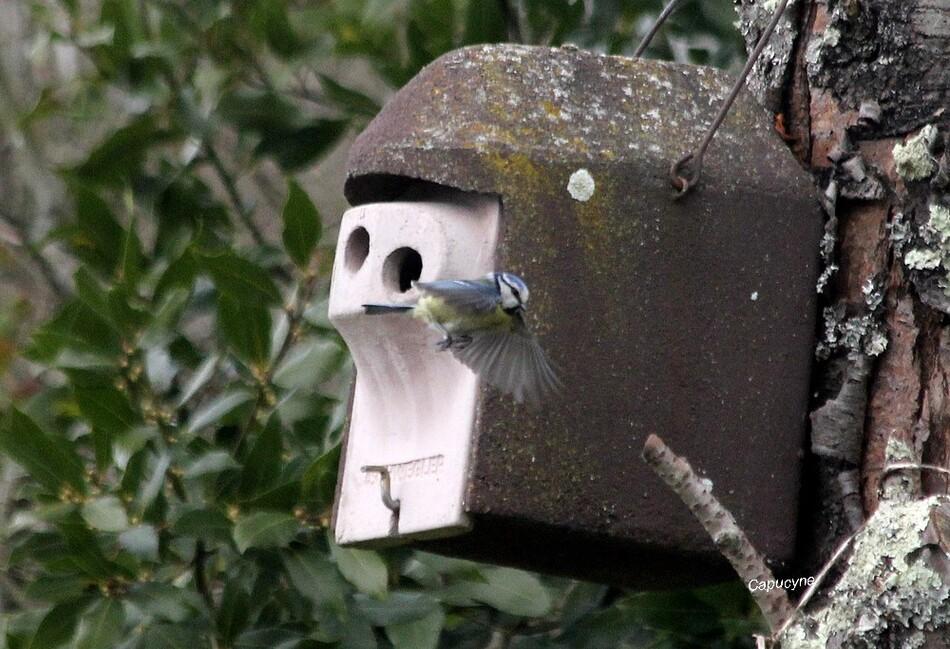 Le mystère du nid de mésanges bleues