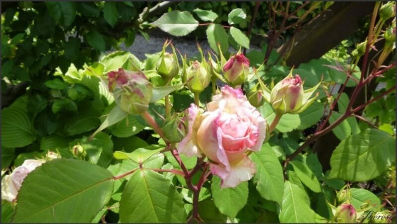 Jardin de l'odorat (3)