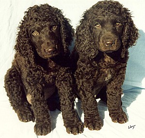 irish water spaniel 1