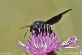 abeille charpentière