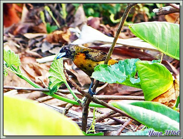 Blog de images-du-pays-des-ours : Images du Pays des Ours (et d'ailleurs ...), Tangara de Cherrie (Ramphocelus costaricensis) - Guadaloupe - La Palma - Puerto Jiménez - Costa Rica