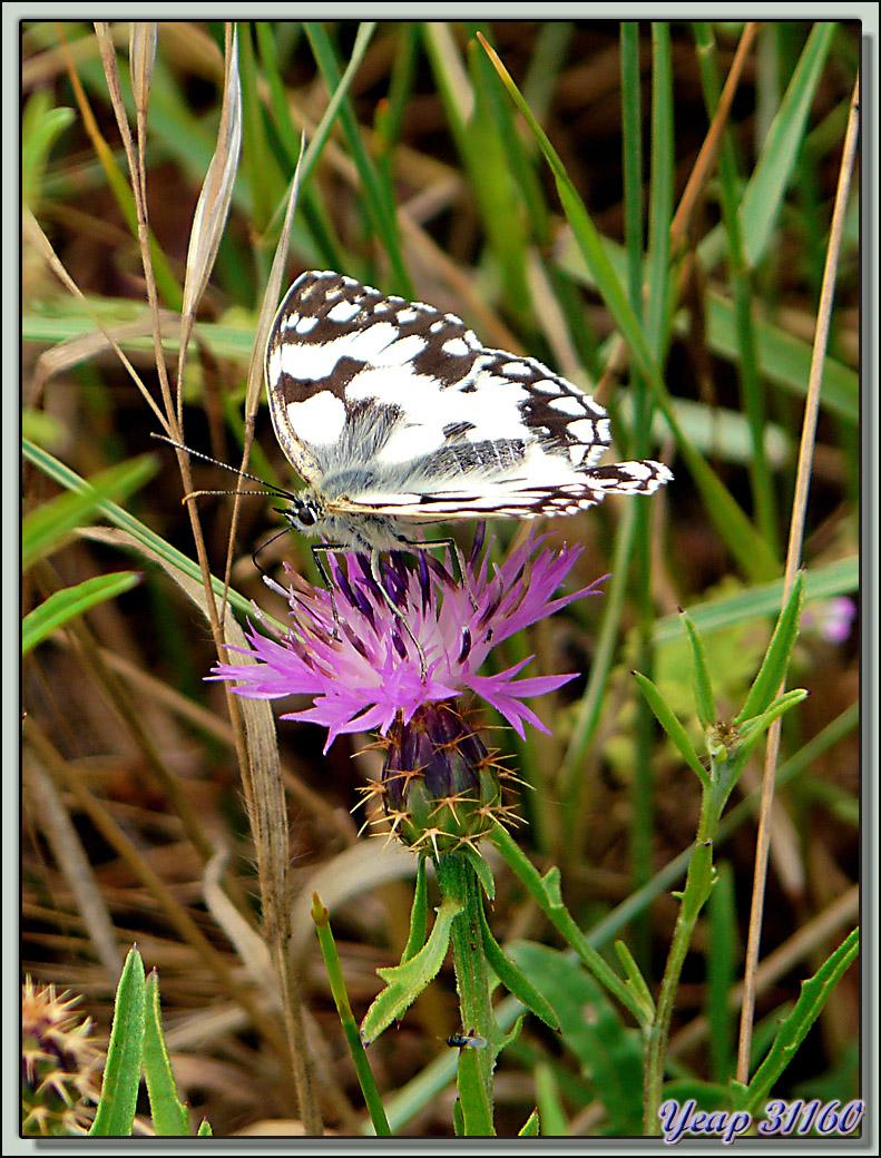 Papillon demi-deuil et Centaurée rude (Centaurea aspera) - La Couarde-sur-Mer - Ile de Ré - 17