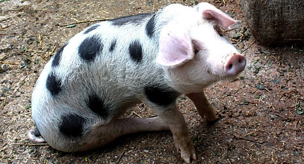 cochon--1.jpg