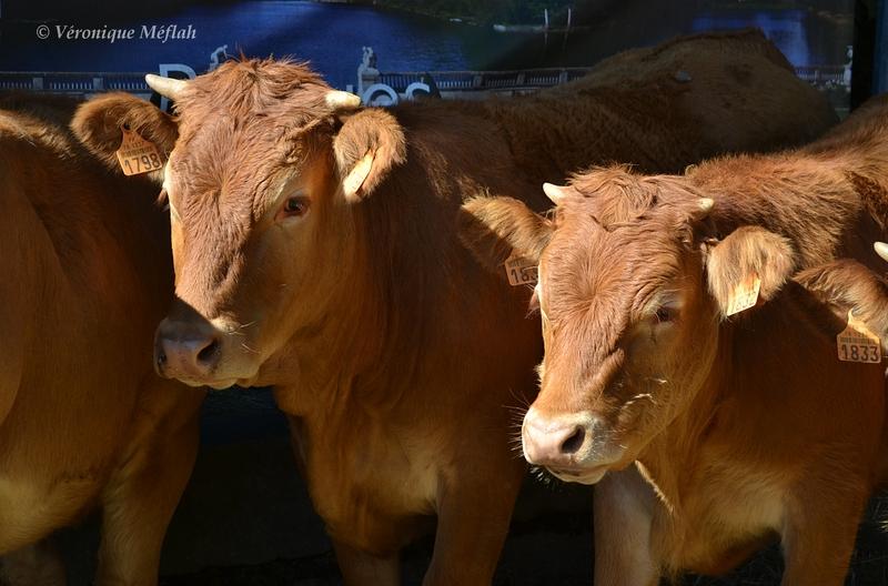 Rambouillet : Fête de la Saint Lubin : Veaux, vaches et ânes !