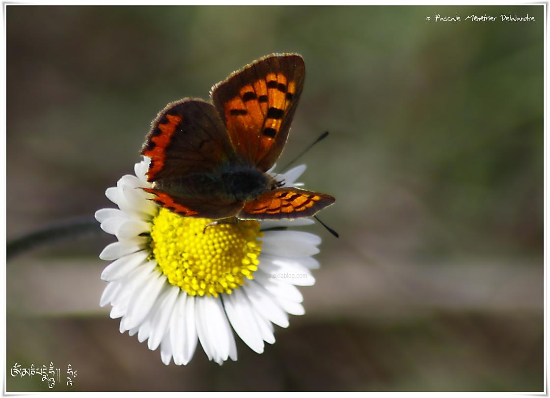 Cuivré commun ou Bronzé (Lycaena phlaeas) - Lycaenidae