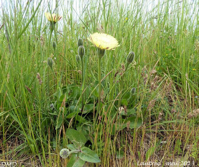 Urospermum dalechampii  -  urosperme de Daléchamps