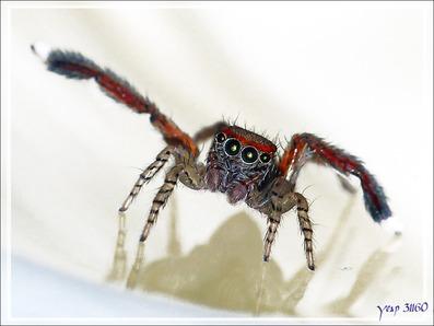 """Les mimiques de l'Araignée sauteuse (saltique) """"Pied barbu"""" mâle (Saitis barbipes) : J'ADORE ! - La Couarde-sur-Mer - Île de Ré - 17"""