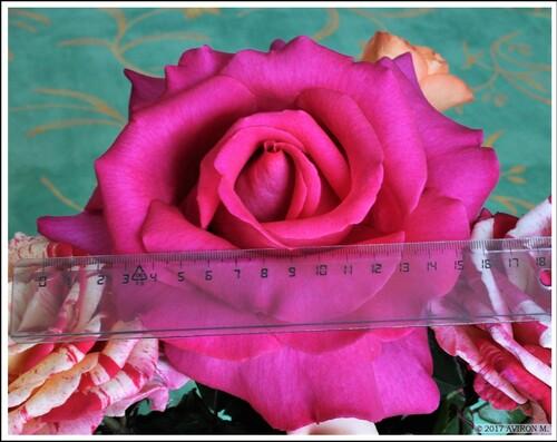 la rose Xxl.
