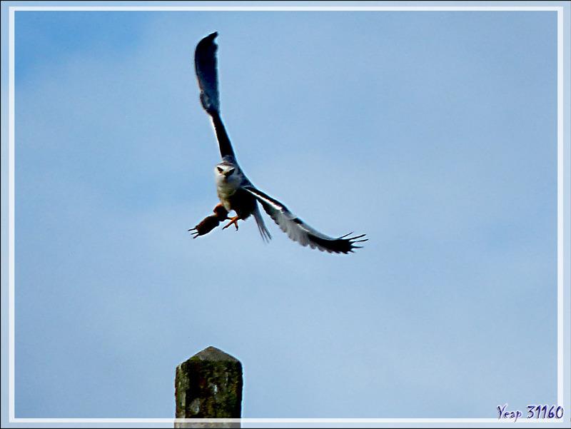 L'envol de l'Élanion blanc, Black-winged Kite (Elanus caeruleus) - Lac de Puydarrieux - Hautes-Pyrénées