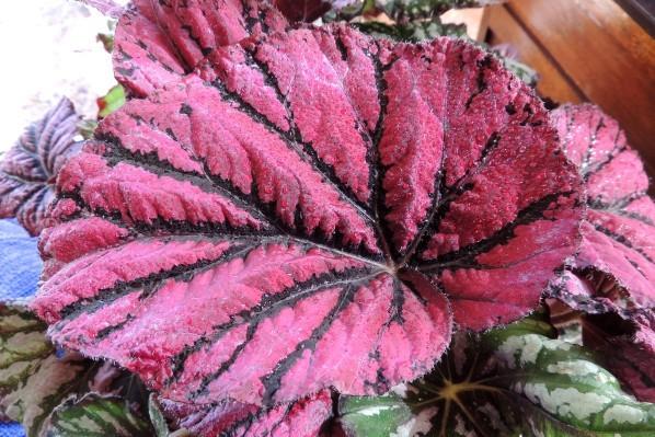 Begonia-rex.jpg
