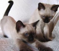 les chats siamois