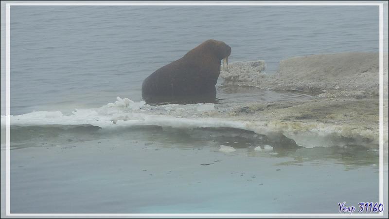 Plus loin, dans la brume, d'autres Morses, Walrus (Odobenus rosmarus) - Mer des Tchouktches - Alaska