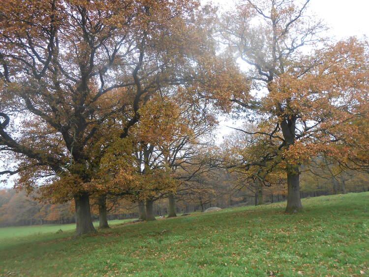 Chênes d'automne