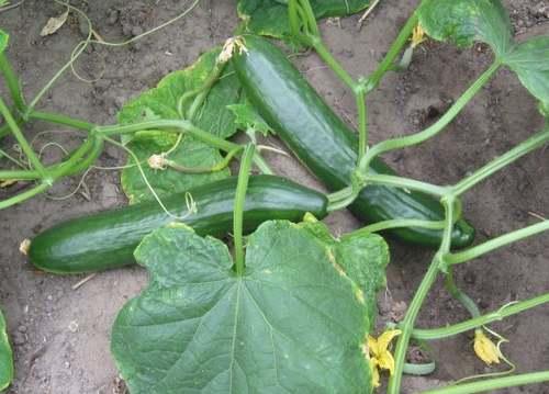 Vertus des Plantes Médicinales : CONCOMBRE