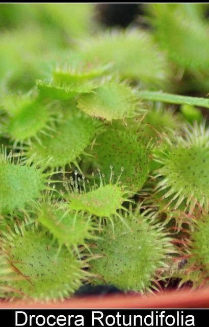 Plante Carnivore Drosera Rotundifolia