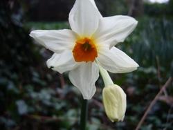 Narcisses ou Jonquilles ?