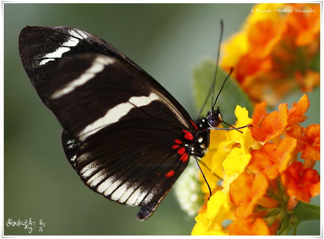 Heliconius sara - Nymphalidae