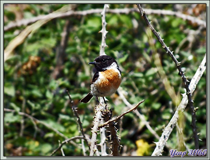 Des oiseaux photogéniques : Monsieur et Madame Tarier Pâtre, European Stonechat ( Saxicola rubicola) - La Couarde-sur-Mer - Ile de Ré - 17