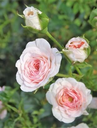 Quelques roses font de la résistance!
