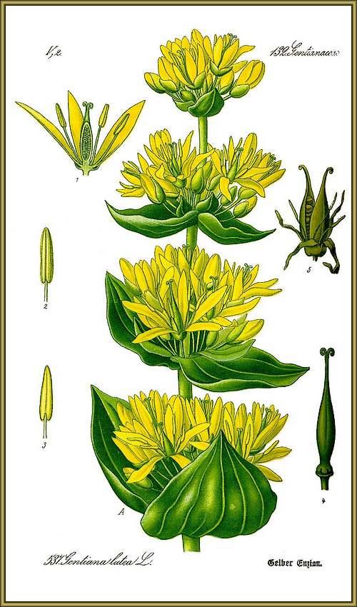 Fleurs sauvages et cultivées : Gentiane