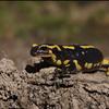Salamandre tachetée (Chaumes-en-Brie 6 avril 2015) © Jaime Crespo