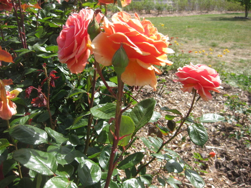 Rose n° 73 demandée par Jean Pierre