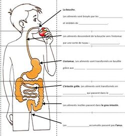 Alimentation digestion au cycle III