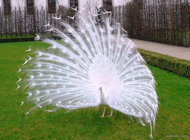 white peacock picturerobygreen
