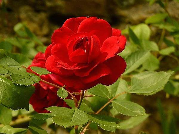 Rose rouge 2