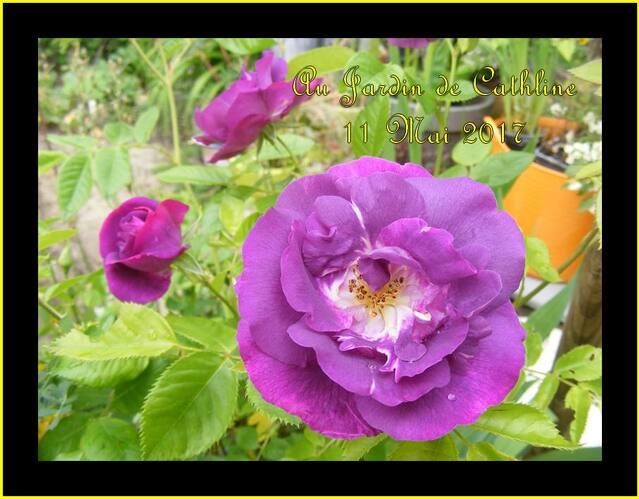 Roses de Mai (2)