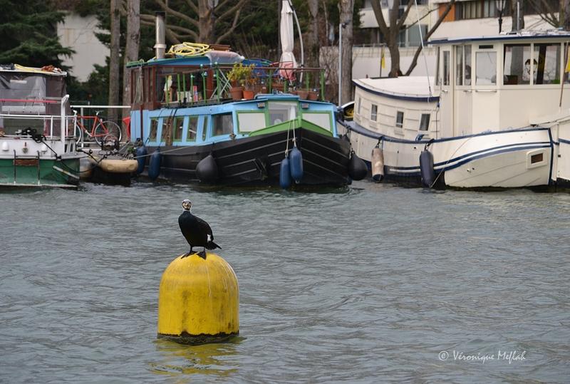 Bassin de la Villette : les Grands Cormorans sont de retour !