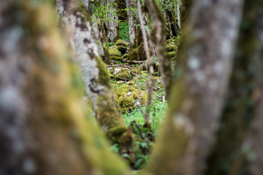 Forêt Maillet