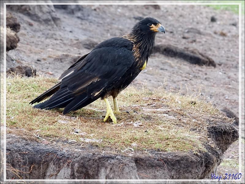 Caracara austral, Striated Caracara (Phalcoboenus australis) - Grave Cove - West Falkland (Malvinas, Malouines) - Grande-Bretagne