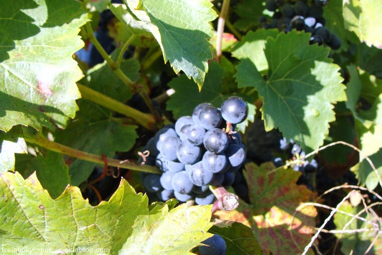 Vendanges à Pornic