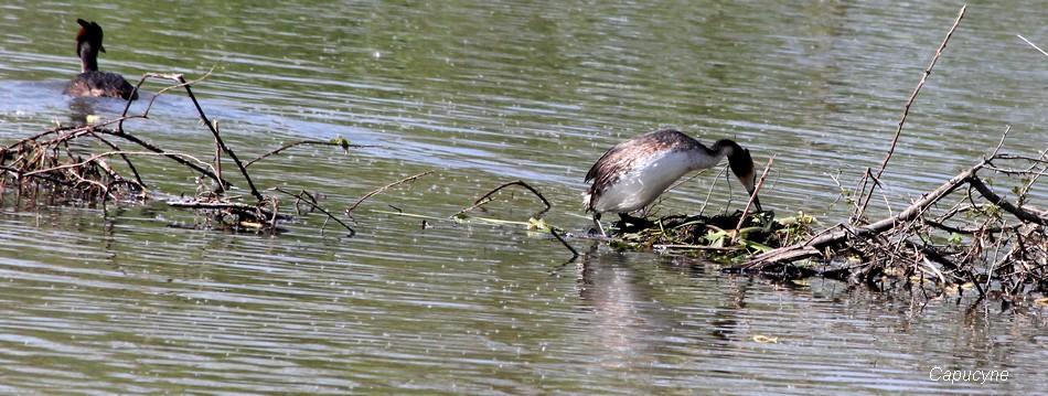 Les grèbes huppés ont fait leur nid !