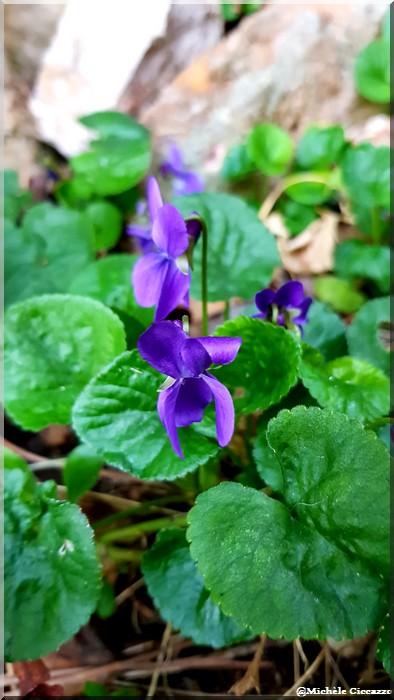La violette