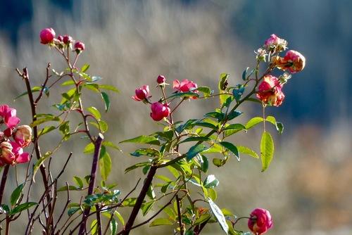 Roses :