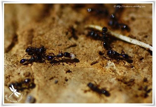 Fourmis de la sous famille des Myrmicinae
