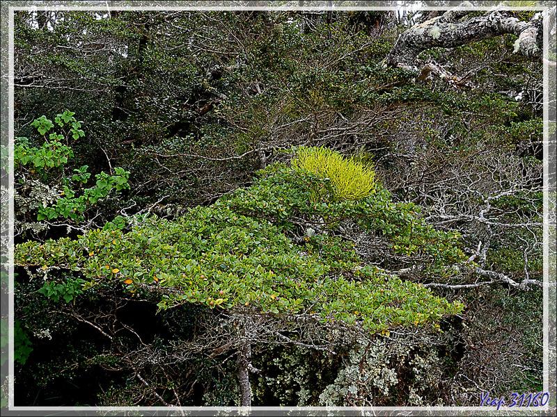 Nous longeons une forêt quasiment impénétrable composée de nothofagus (faux-hêtres), cannelliers, etc. - Glacier Aguila - Terre de Feu - Patagonie - Chili