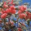 473 Maroc Fleurs d\'eucalyptus