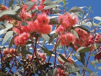 473 Maroc Fleurs d'eucalyptus