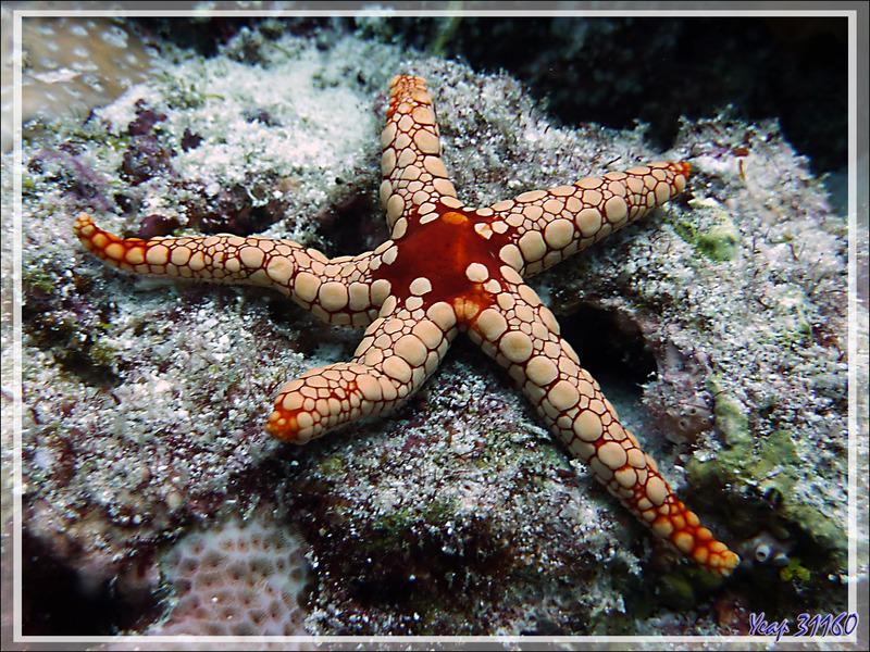 Etoile de mer élégante, Elegant sea star (Fromia nodosa) - Moofushi - Atoll d'Ari - Maldives