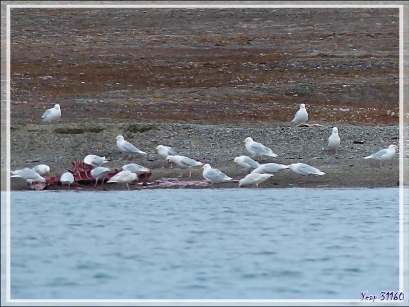 Les goélands profitent de l'occasion pour se servir sur les restes du béluga - Guillemard Bay - Prince of Wales Island - Nunavut - Canada