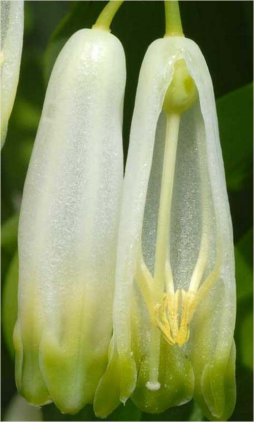 Vertus médicinales des plantes sauvages : Sceau de Salomon