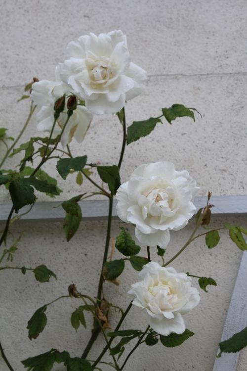 Les premières roses