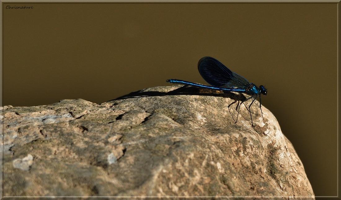 Caloptéryx vierge mâle