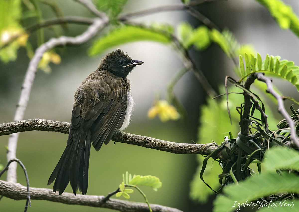 Jeune bulbul qui attend ses parents