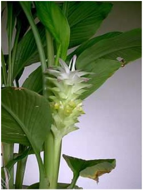Curcuma réunionnais en fleur