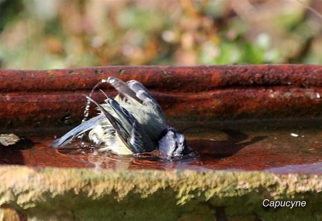 mesange-bleue-au-bain 5639